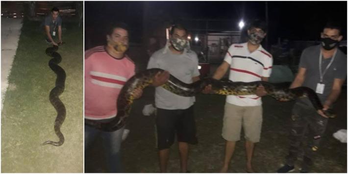 Rescataron una Anaconda amarilla de casi 4 metros