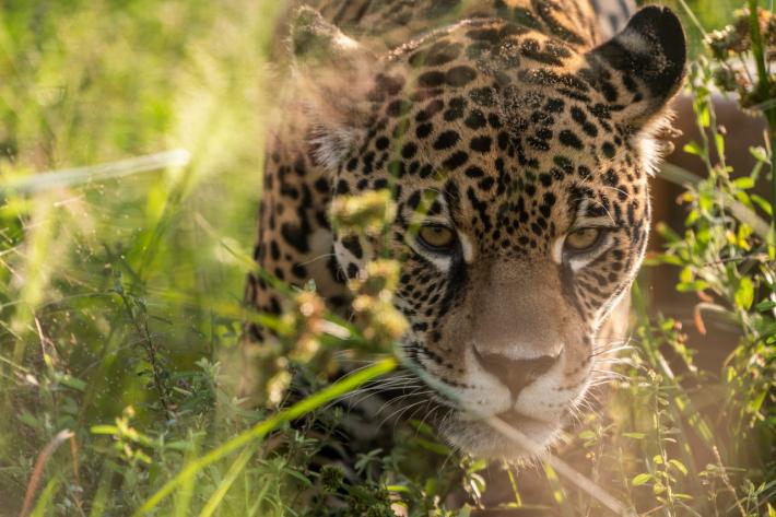Según la bióloga Verónica Quiroga los registros de huellas de yaguareté aparecen con la misma frecuencia en el Chaco