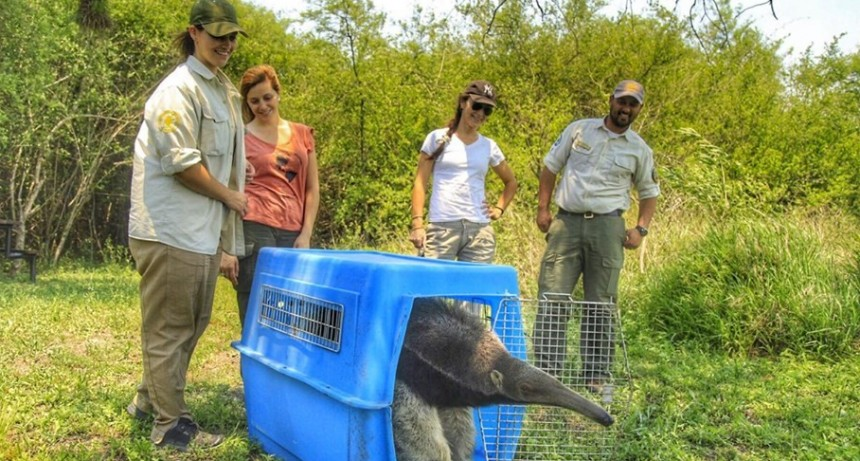 Liberaron a un oso hormiguero rescatado tras la muerte de su madre en El Impenetrable
